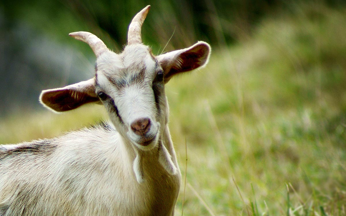 1434362356-xxkxbeautiful_goat_fzru